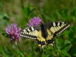 Machaon Dupont