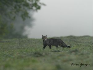 Chat forestier Kevin Georgin 3